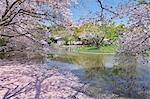 Genpei Pond Cherry Blossoms, Kanagawa Prefecture, Japan
