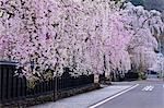 Sakura et résidences de samouraïs, Kakunodate, préfecture d'Akita, Japon