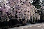 Kakunodate Weeping Cherry, Akita Prefecture, Japan