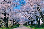 Cherry Trees At Katsuji Kitakami, Iwate Prefecture, Japan