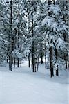 Arbres couverts de neige en forêt, E. C. Manning Provincial Park, British Columbia, Canada