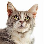 Portrait de pure race chat maine coon sur fond blanc