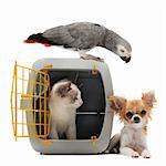 chat fermé à l'intérieur de la cage, perroquet et chihuahua isolé sur fond blanc