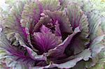 Feuilles de la plante fraîche de chou vert (brassica oleracea) violet