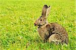 Domestic Rabbit on Grass, Black Forest, Schwarzwald-Baar, Baden-Wurttemberg, Germany