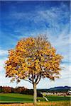 Maple Tree, Schwarzwald-Baar, Black Forest, Baden-Wurttemberg, Germany