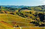 Coteaux de vignes en automne, Ortenau, forêt noire, Bade-Wurtemberg, Allemagne