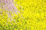 Cherry tree and field mustard field