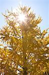 Feuilles jaunes de Ginkgo Biloba
