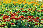 Ringelblumen Blumenfeld in Chiba