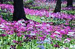 Japanese primrose field in Gifu Prefecture