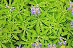 L'été des fleurs sauvages alpines, Parc National du Mont Rainier, Washington, USA