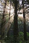 Les rayons de soleil dans la forêt tropicale près de Hoh Rainforest, Olympic National Park, Washington, Etats-Unis