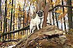 Mops Hund stehend Wald
