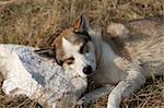 Chien sans-abri dort sur la pierre pour un oreiller