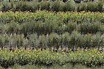Rangées de fleurs colorées dans le champ