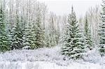 Schnee, der auf Bäume, Banff, Alberta, Kanada