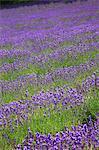 Lavender field in Nakafurano, Hokkaido