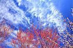 Blooming plum flowers at Minabe Plum Grove, Wakayama Prefecture