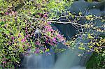 Fleurs de l'azalée et cascade de Ryuzu, préfecture de Tochigi