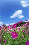 Kosmos Blumen und blauer Himmel mit Wolken im Hintergrund