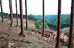 Couper les arbres dans la forêt de cèdres, préfecture de Tochigi