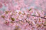 Wild bird on cherry tree branch and cherry blossoms
