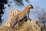 Leopard Standing on Rock