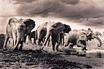 Troupeau d'éléphants passage rivière