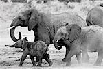 Elephant Family Walking in Mud