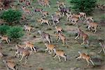 Aerial View of Eland Herd Erinidi, Namibia, Africa