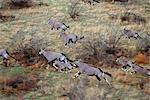 Vue aérienne du troupeau d'Oryx exécutant Namibie, Afrique