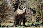 Rhinocéros noirs près d'arbres Afrique