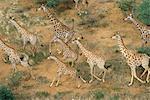 Vue aérienne du troupeau girafe exécutant Gilles, Namibie, Afrique