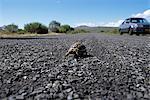 Tortue croisement route Cap péninsule National parc Western Cape, Afrique du Sud