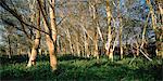 Yellow Fever Trees Mkuzi Game Reserve, KwaZulu Natal South Africa