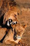 Lion and Lioness, Kruger National Park, South Africa