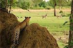 Leopard regarder zèbres