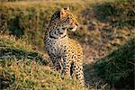 Portrait de léopard