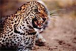 Leopard vrille