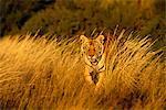 Tiger marcher dans l'herbe longue, Karoo, Afrique du Sud