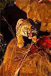 Tigre avec la proie, Karoo, Afrique du Sud