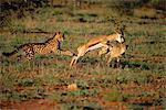 Guépards roi chasse un Impala