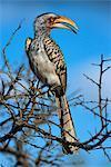 Calao à bec jaune, Kruger National Park, Afrique du Sud