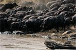 Buffalo croisement Mara River, Kenya