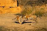 Deux tigres jouer