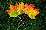 Tir juste au-dessus de l'érable à feuilles sur l'herbe