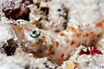 Faxon's shrimp (Solenocera faxoni), Sulawesi, Indonesia, Southeast Asia, Asia