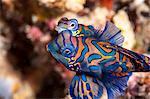 Mandarinfish (Synchiropus splendidus) mating, Sulawesi, Indonesia, Southeast Asia, Asia