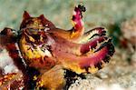 Flamboyant cuttlefish (Metasepia pfefferi), Sulawesi, Indonesia, Southeast Asia, Asia